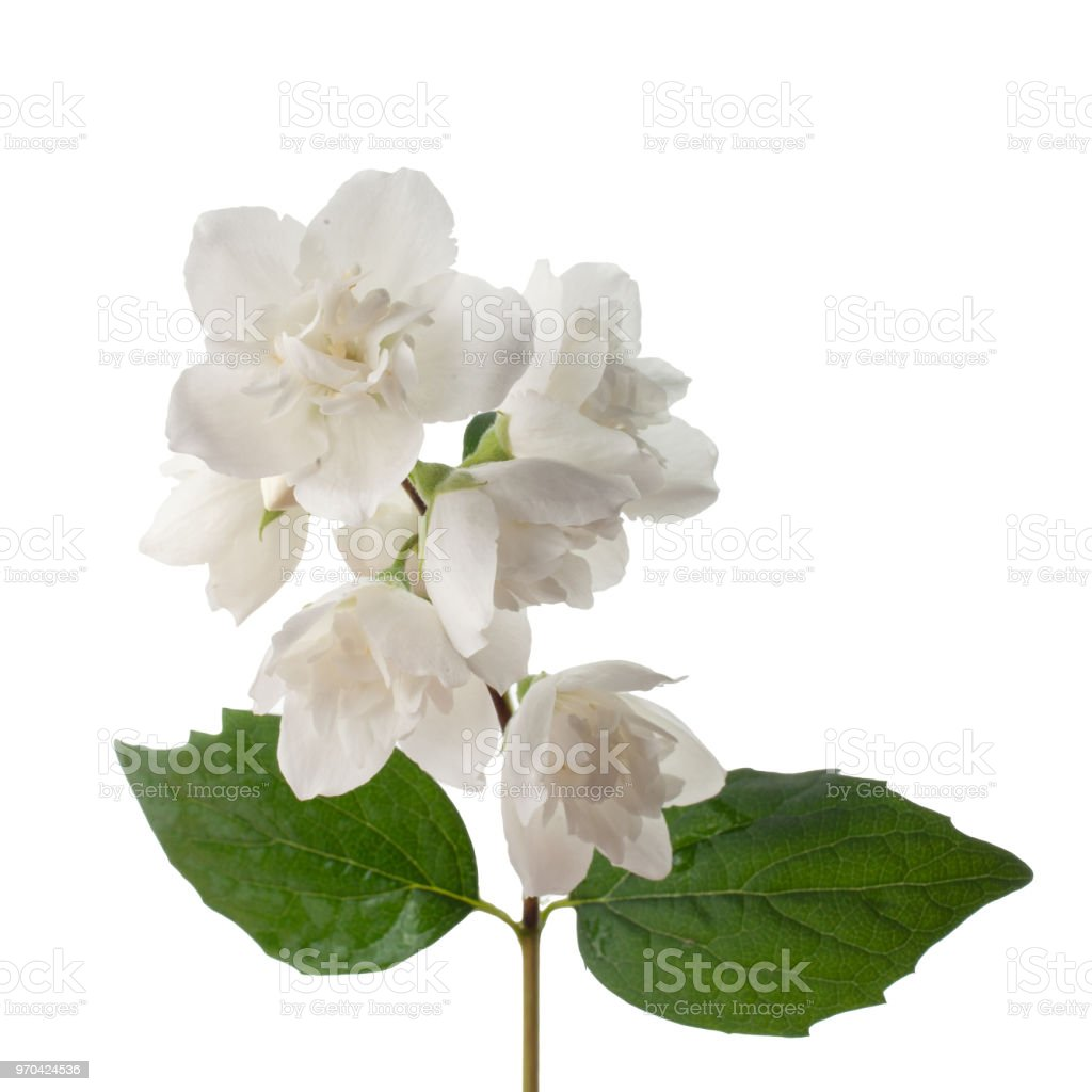Branch Of Jasmine Flowers Isolated On White Background Stock Photo