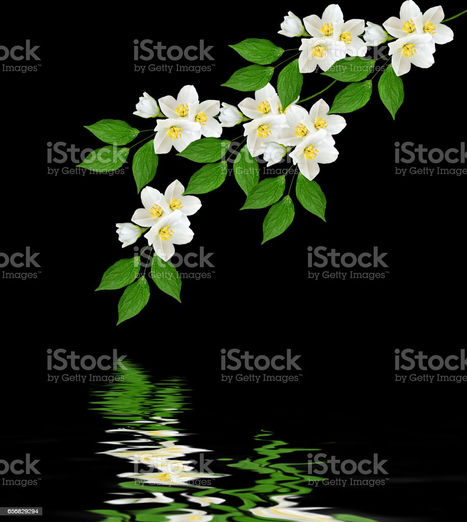 Branch Of Jasmine Flowers Stock Photo More Pictures Of Abstract