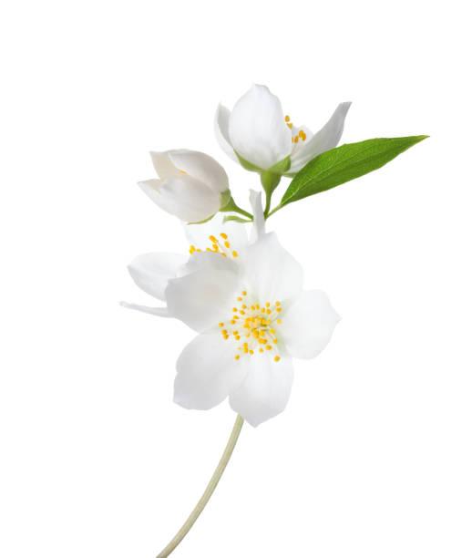 재 스민의 가지 (philadelphus) 꽃 흰색 배경에 고립. - 재스민 뉴스 사진 이미지