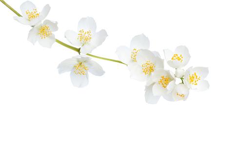 Branch of  Jasmine's (Philadelphus) flowers isolated on white background.