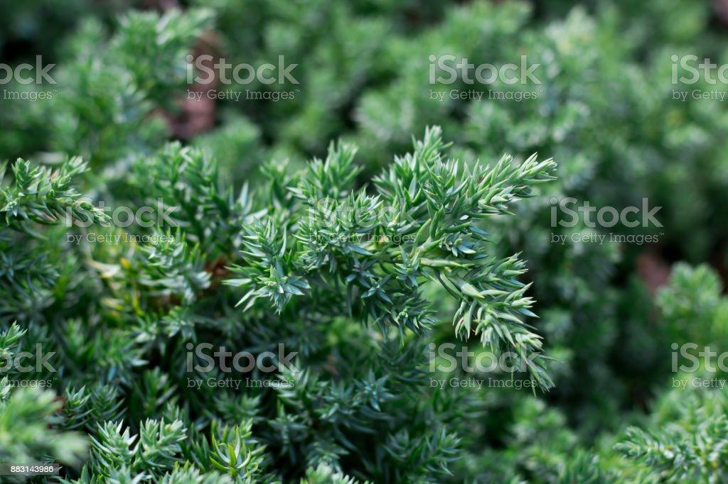 Branch of juniper tree textured nature background