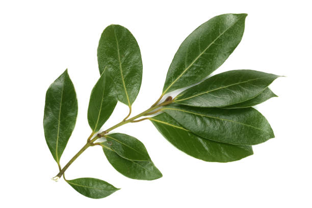 A branch of laurel isolated on white background. Fresh bay leaves. Top view stock photo