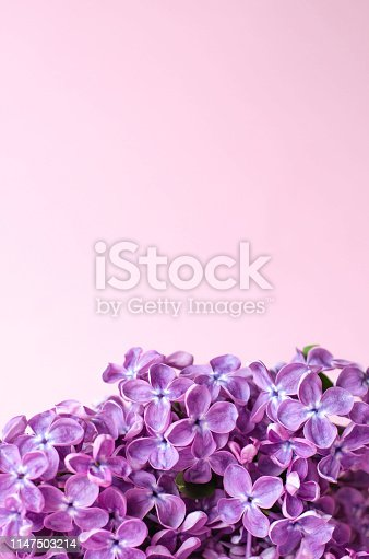 1147995495 istock photo A branch of lilac on a pink light background. 1147503214