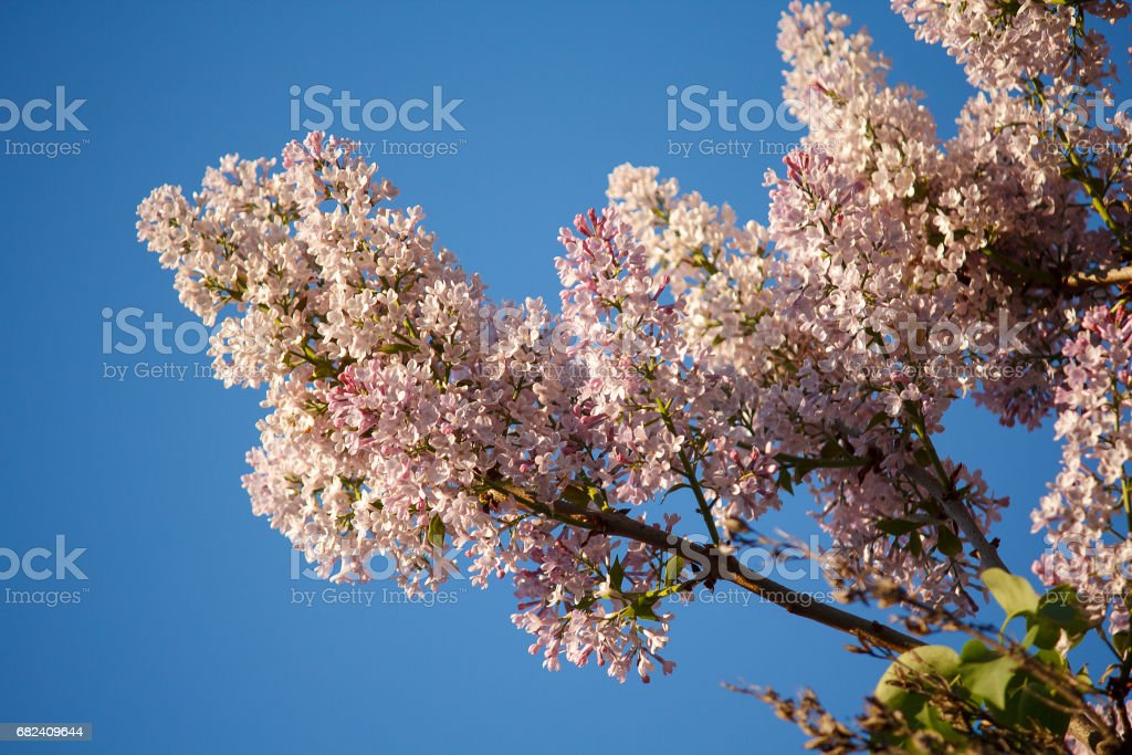Branch of lilacs lit by the sun against the sky royalty-free stock photo
