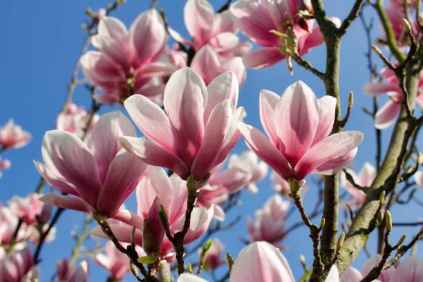 Zweig der Magnolienbaum im Frühlingsgarten – Foto