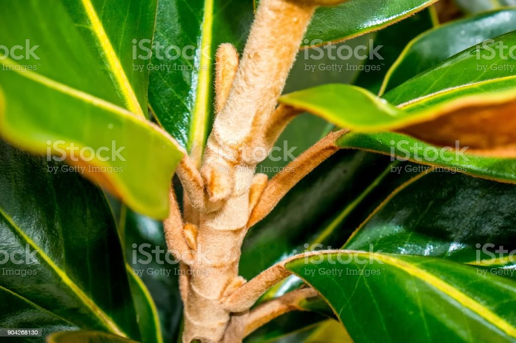 branch of magnolia tree stock photo