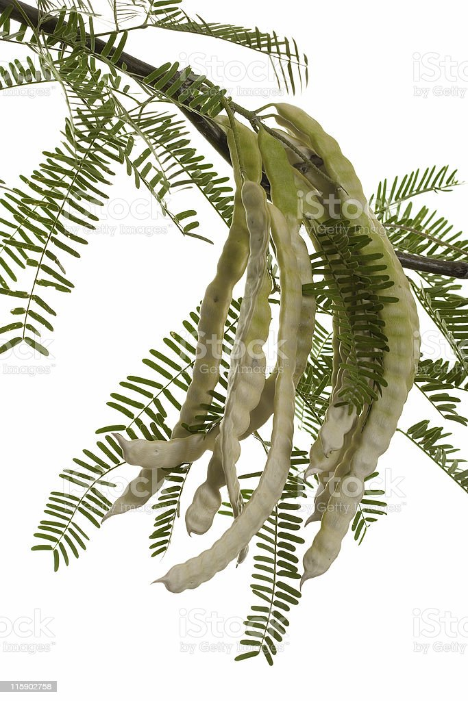 A branch of Mesquite pods against a white background stock photo