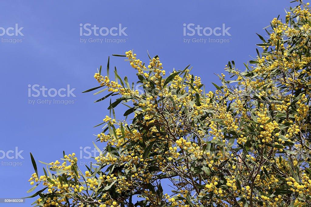 Fiori Gialli Rotondi.Ramo Di Pianta Di Mimosa Con Fiori Gialli Rotondi Lanuginoso