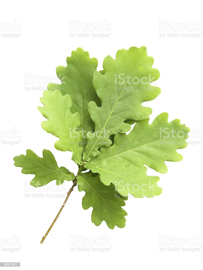 Branch of oak with young green leaves stock photo