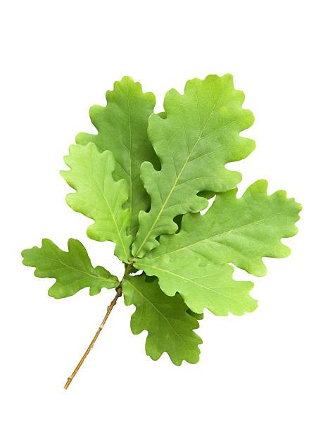 bündel von oak mit junge grüne blätter - eichenblatt stock-fotos und bilder