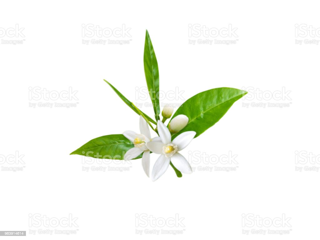 Branch of orange tree with white fragrant flowers