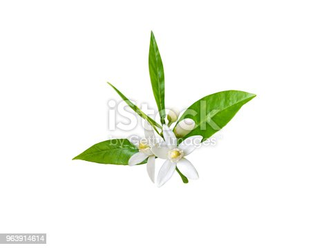 istock Branch of orange tree with white fragrant flowers 963914614