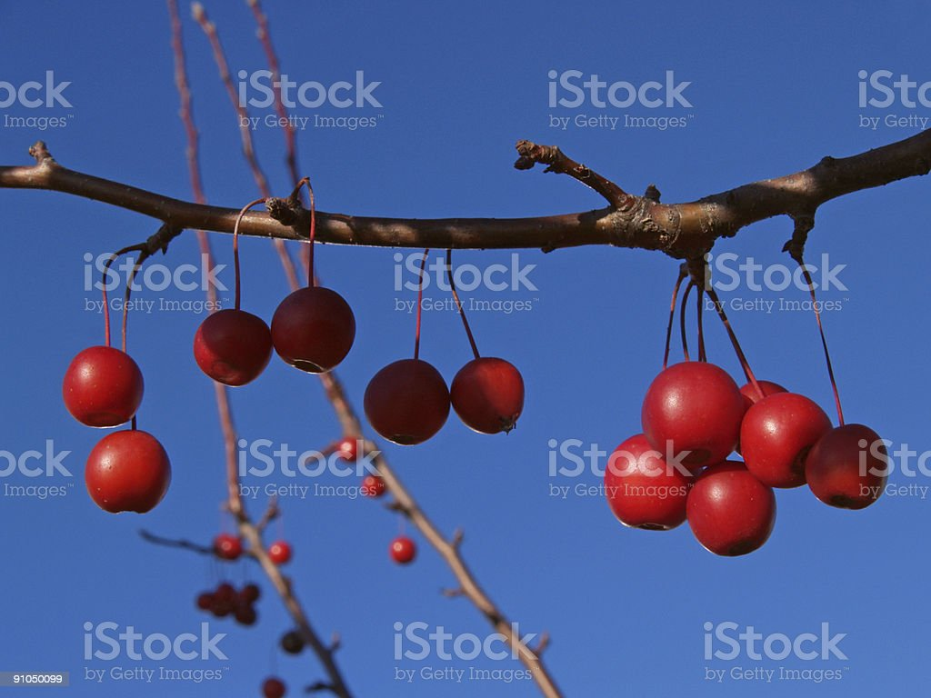 Branch of Ornamental Crabapple Fruits in Azure Sky stock photo