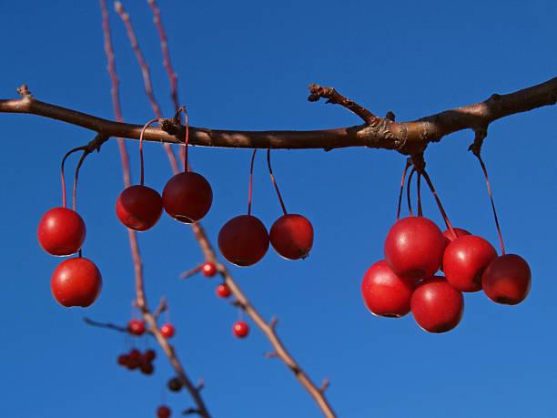 Branch of Ornamental Crabapple Fruits in Azure Sky stock photo