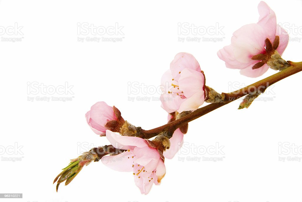 Branch of peach tree with blossoms on white royalty-free stock photo