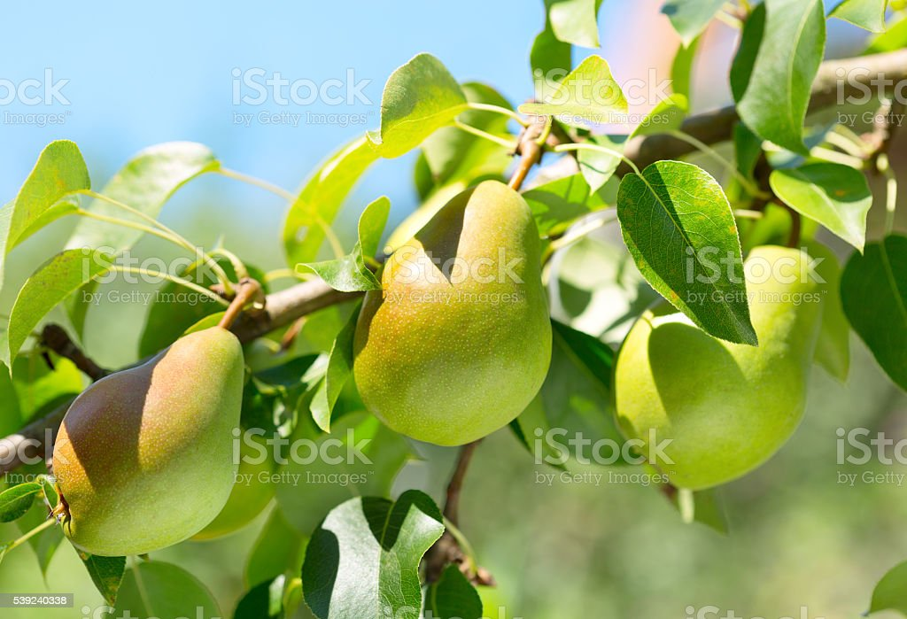 Branch of pears royalty-free stock photo