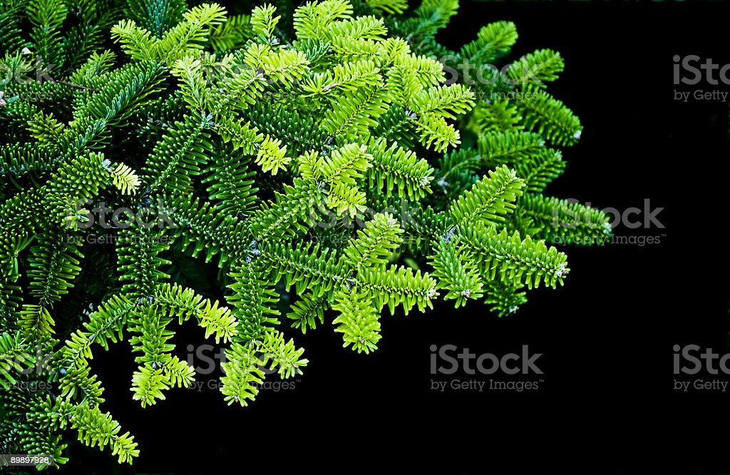 Branch of pine royalty-free stock photo