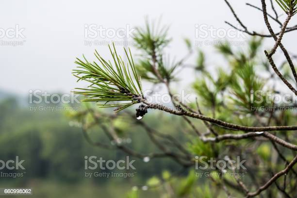 Photo of Branch of pine tree after the rain with drops