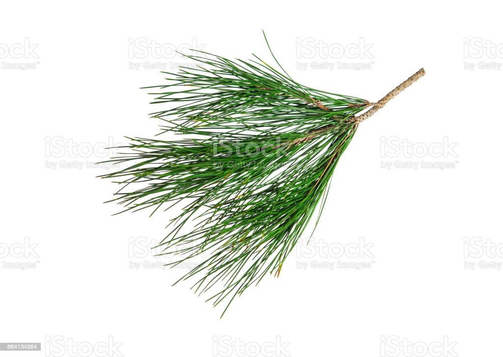 Branch of pine tree isolated on white royalty-free stock photo
