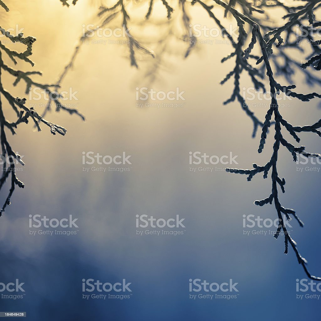 Branch of pine tree royalty-free stock photo