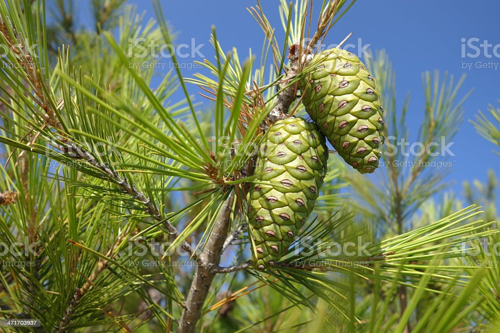 Branch of pine tree with cones above blue clear sky stock photo