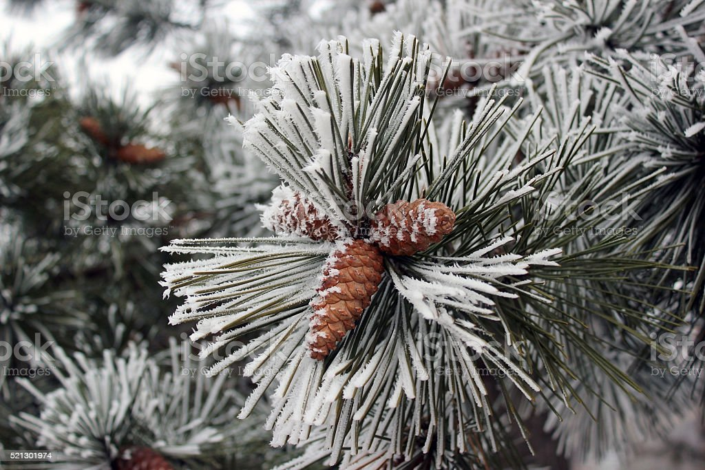 Branch of pine tree with cones in winter stock photo