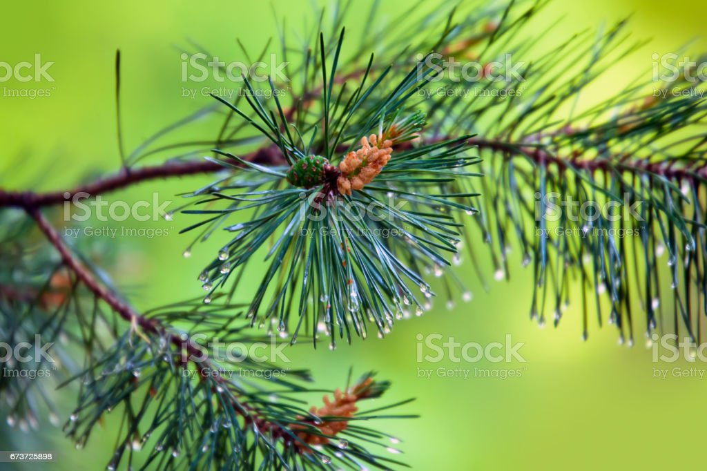 Branch of pine-tree with young cone and rain drops on needles photo libre de droits