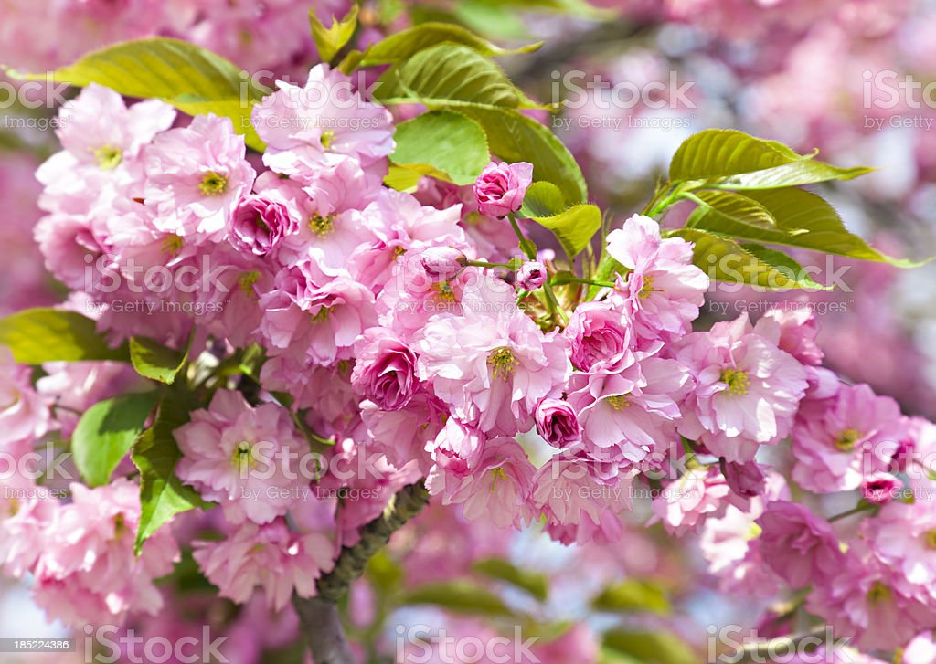 Branch of pink flowers royalty-free stock photo