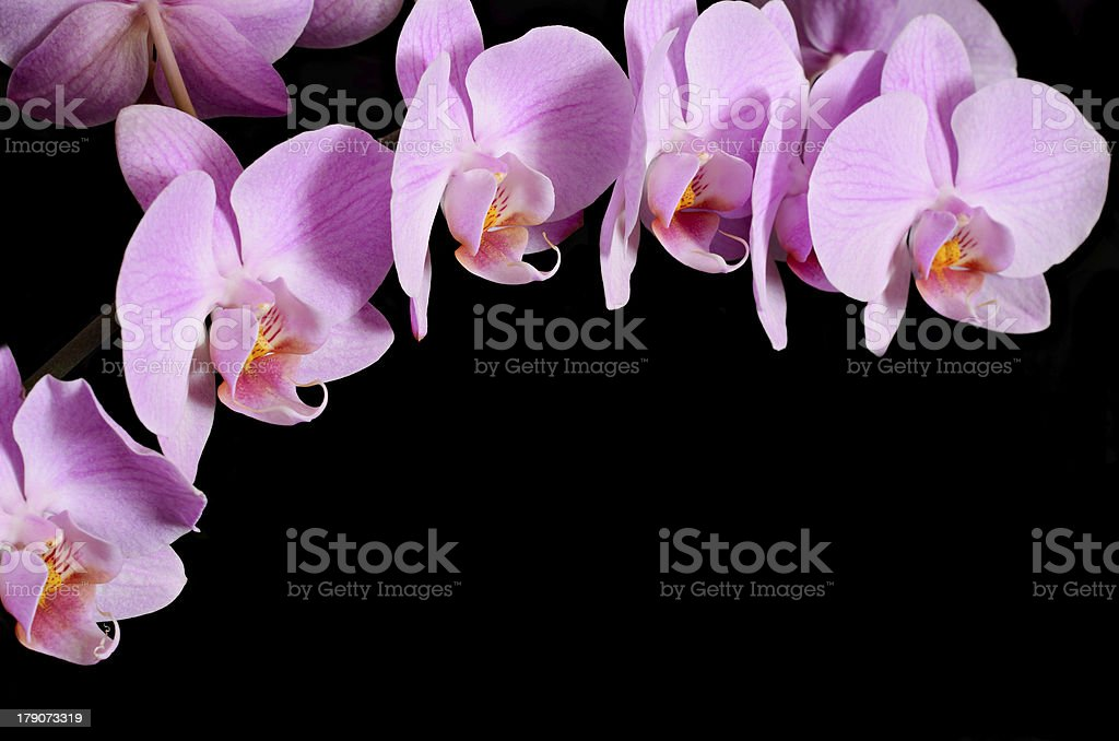 Branch of pink orchids royalty-free stock photo
