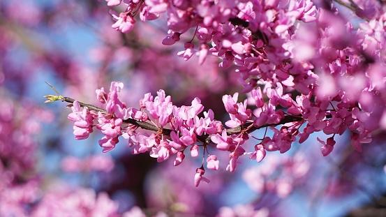 Branch of pink redbud flowers