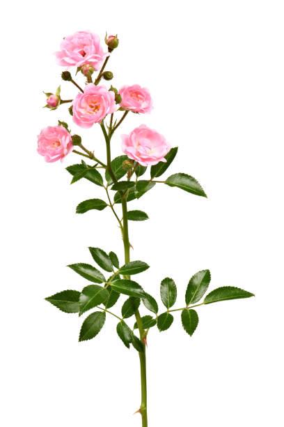Branch of pink rose flower picture id1272093748?b=1&k=6&m=1272093748&s=612x612&w=0&h=ctplpbaafagtucpyxqpl zdnv8jkvqgec1nhhth9kw4=