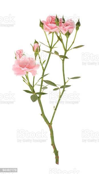 Branch of pink roses picture id94462129?b=1&k=6&m=94462129&s=612x612&h=yxbehttkqbfnzn92164khvrpkvswqznikigqkellw7e=