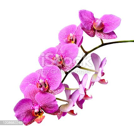 Branch of mauve pink delicate elegant tropical flowers Orchids or Phaleonopsis close up isolated on white background