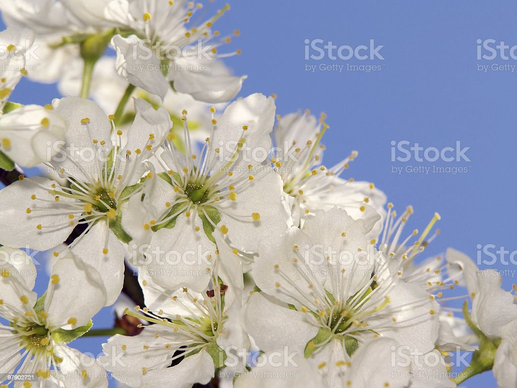 Branch of plum-tree royalty-free stock photo