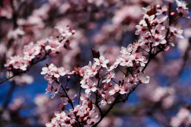 Zweig der prunus serrulata japanische Kirsche im Frühlingsgarten – Foto