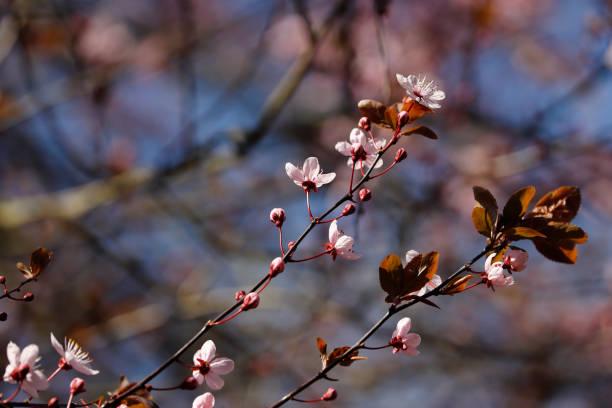 Zweig von prunus serrulata japanischer Kirsche im Frühlingsgarten – Foto