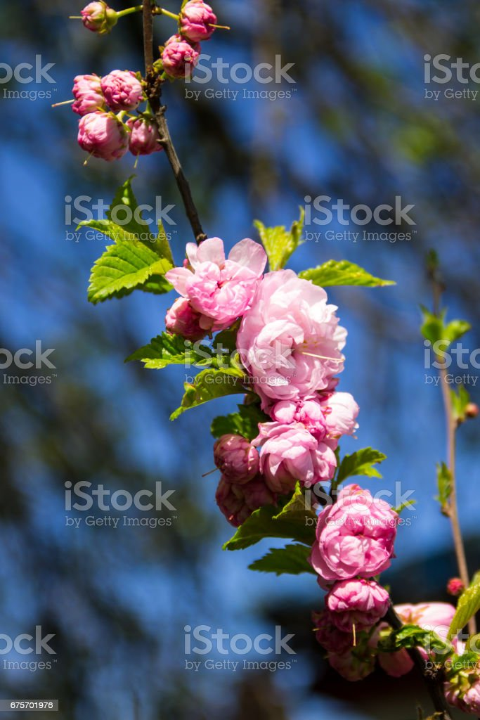 Branch of Prunus triloba (Louiseania ulmifolia) blossoms. Twig of almond trilobate with beautiful pink flowers closeup royalty-free stock photo