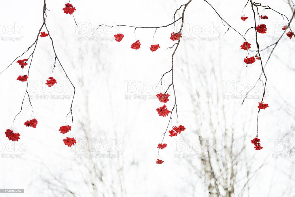 Branch of red ashberry royalty-free stock photo