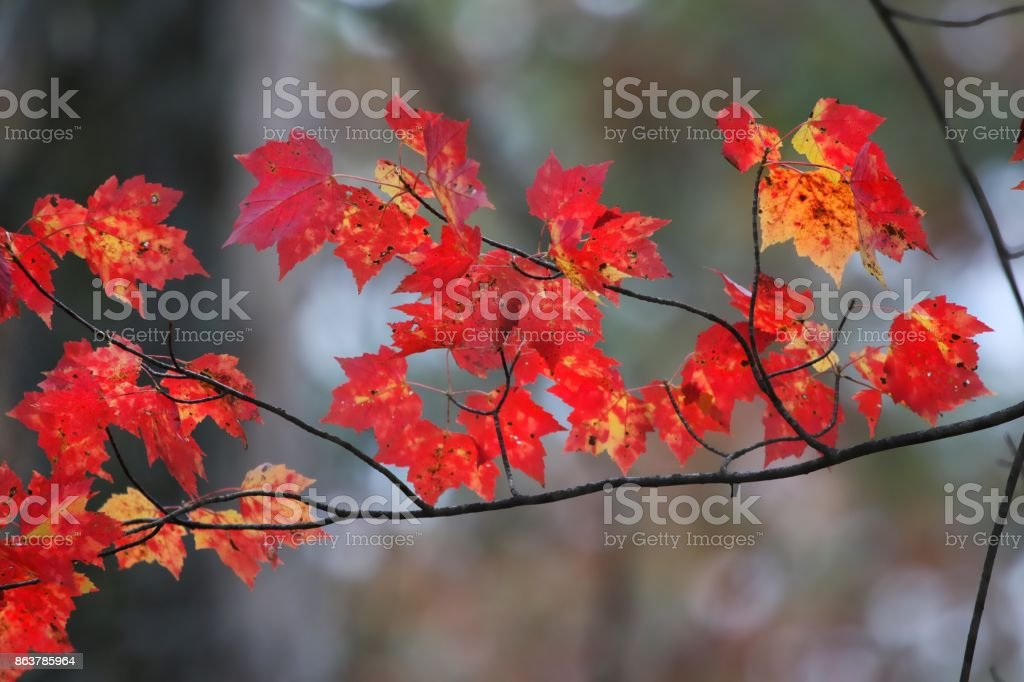 Branch of red leaves stock photo