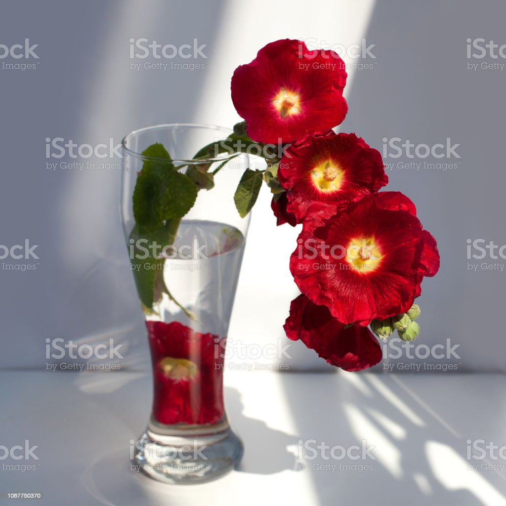 Branch of red mallow flowers, bouquet in a glass vase with water in a...