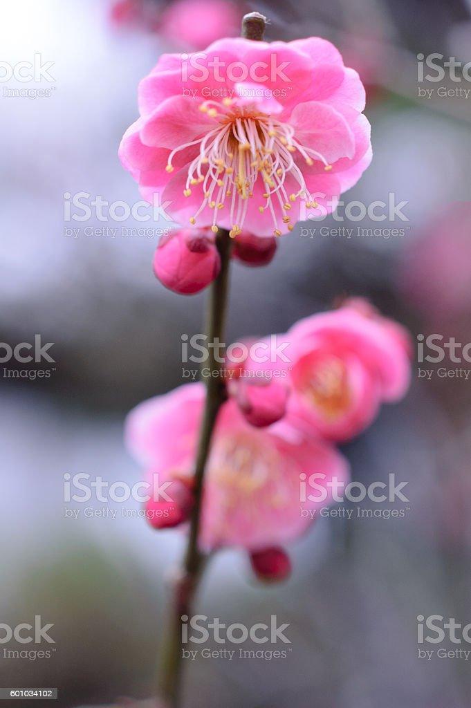 Branch of red plum ストックフォト