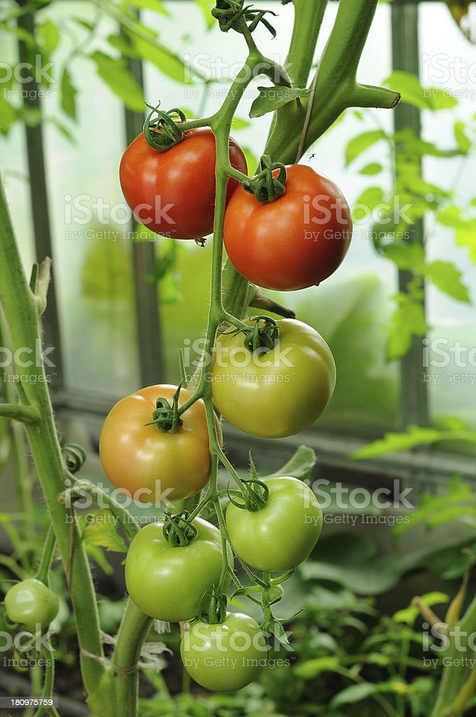 branch of red ripe and green unripe tomatoes royalty-free stock photo