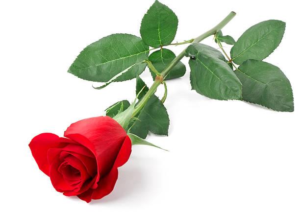 Branch of red rose picture id123075113?b=1&k=6&m=123075113&s=612x612&w=0&h=cjzfdn9nmfealtsajfog6kulyokryb0aplccmrhdasc=