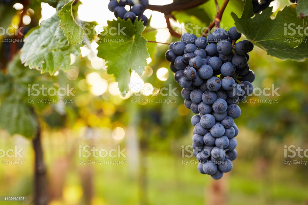Branch of red wine grapes Branch of red wine grapes in the vineyard Agriculture Stock Photo
