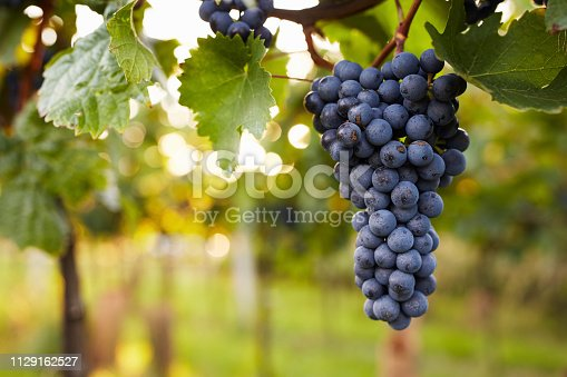 Branch of red wine grapes in the vineyard