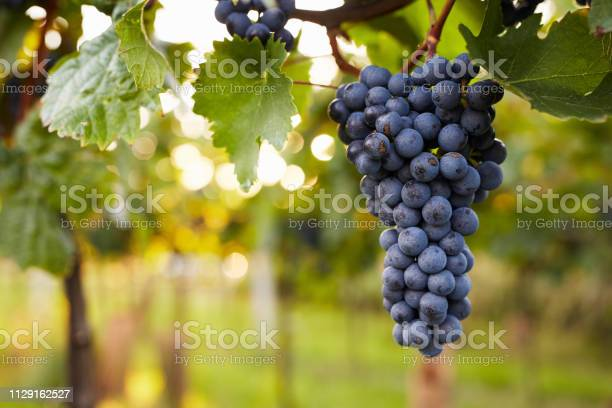 Branch Of Red Wine Grapes Stock Photo - Download Image Now