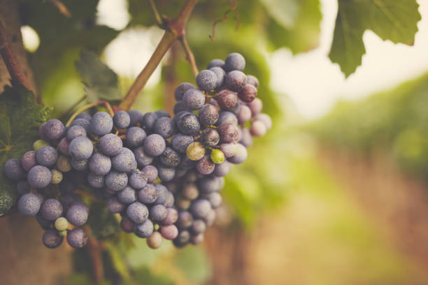 Branch of red wine grapes, toned stock photo