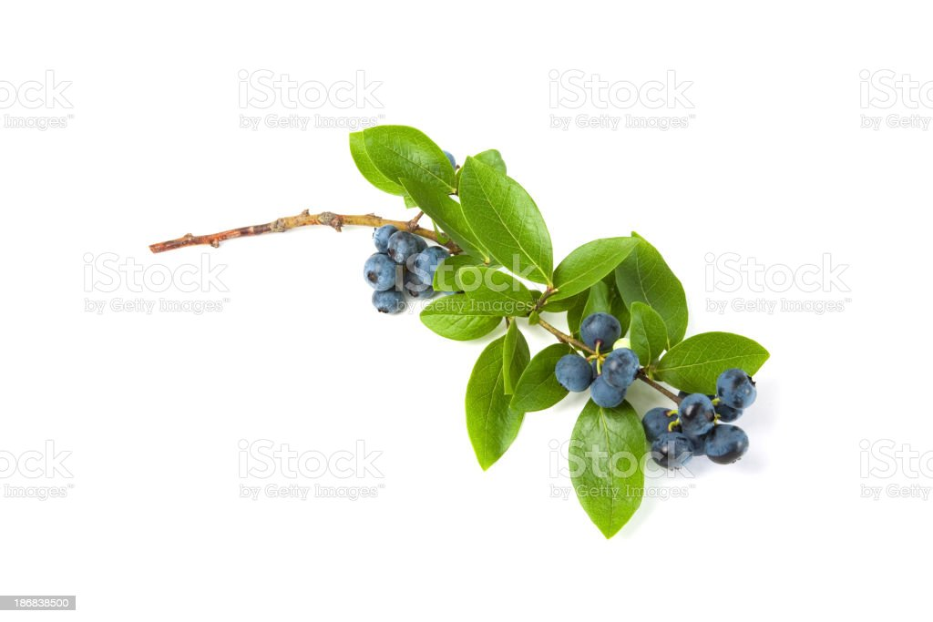 Branch of ripe blueberries and leaves on a white background stock photo