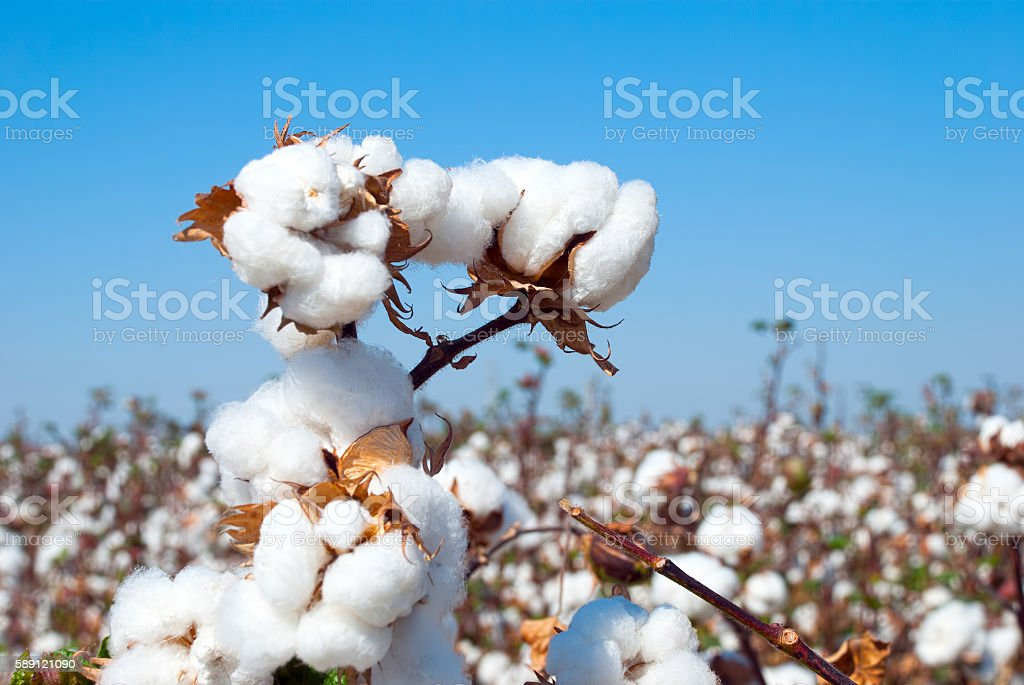 Branch of ripe cotton stock photo