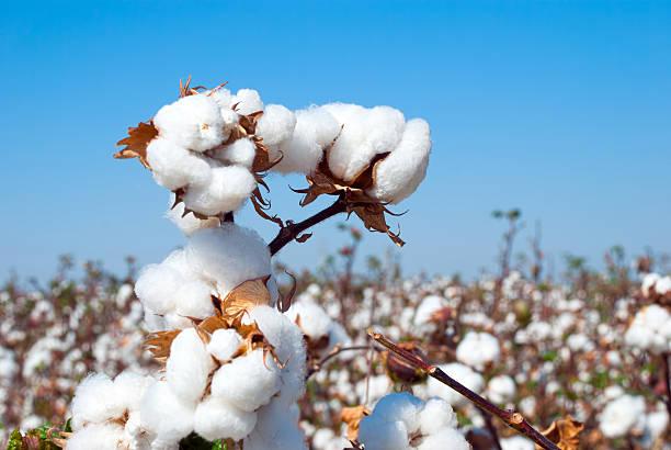 branch of ripe cotton - 棉 個照片及圖片檔
